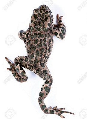 11590384-common-toad-european-toad-bufo-bufo-bufo-vulgaris-bufo-cinereus-toad-in-studio-against-a-white-backg-stock-photo.jpg
