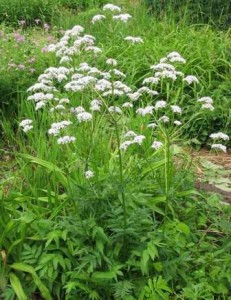 valeriana-officinalis.jpg